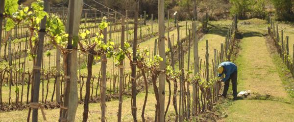 Viñas en Payogasta, Valles Calchaquíes